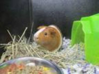 Adopt Joe a Black Guinea Pig / Guinea Pig / Mixed small animal in Irving