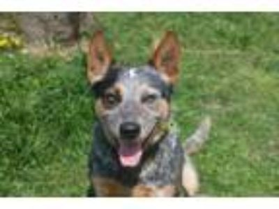 Adopt Bruno a Australian Cattle Dog / Blue Heeler