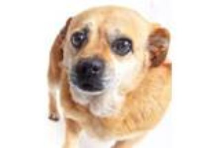 Adopt Whoopee a Pug, Mixed Breed