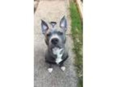 Adopt Willie a Gray/Blue/Silver/Salt & Pepper Pit Bull Terrier / Staffordshire