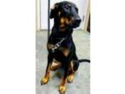 Adopt Deebo a Black - with Tan, Yellow or Fawn Doberman Pinscher / Mixed dog in