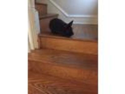 Adopt Newton a Black Lionhead / Mixed (short coat) rabbit in Waynesboro