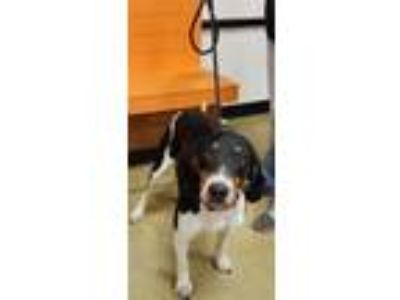 Adopt ralph a Tricolor (Tan/Brown & Black & White) Hound (Unknown Type) / Mixed