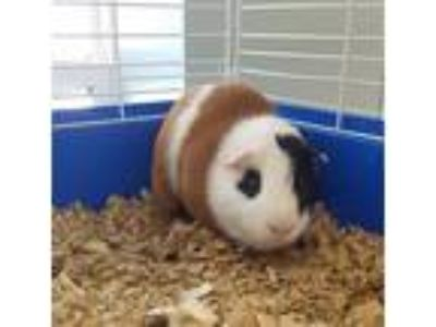 Adopt Patches a Guinea Pig small animal in Madison, NJ (25307775)
