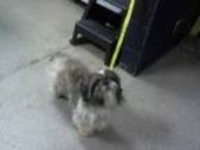 Adopt a Gray/Silver/Salt & Pepper - with White Shih Tzu / Mixed dog in