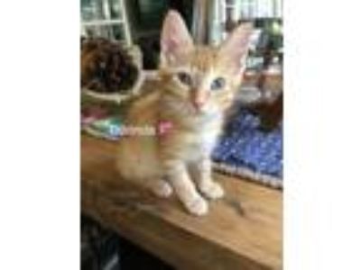 Adopt Dorinda a Domestic Short Hair