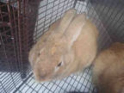 Adopt a Fawn Other/Unknown / Mixed rabbit in Tucson, AZ (25347293)