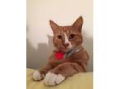 Adopt Honey Bun a Orange or Red (Mostly) American Shorthair / Mixed cat in Haw