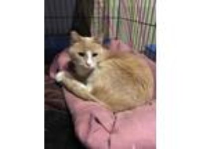Adopt Muffin a Tan or Fawn Domestic Shorthair / Domestic Shorthair / Mixed cat