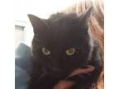 Adopt Conki a Domestic Short Hair