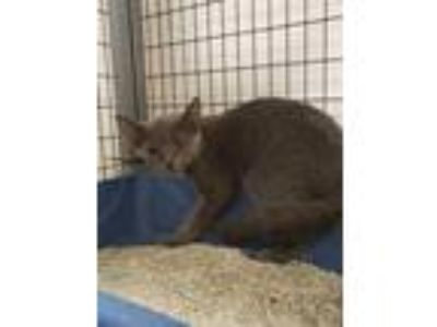 Adopt Obi a Gray or Blue Domestic Shorthair / Domestic Shorthair / Mixed cat in