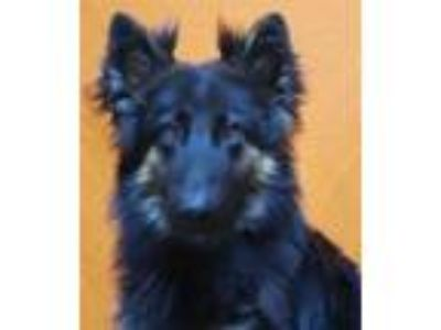 Adopt MIDNIGHT a Black - with Tan, Yellow or Fawn German Shepherd Dog / Mixed