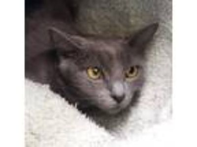 Adopt Grey Presto a Domestic Short Hair