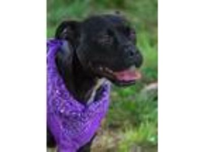 Adopt Ruthanne a Black - with White Pit Bull Terrier / Mixed dog in Alpharetta