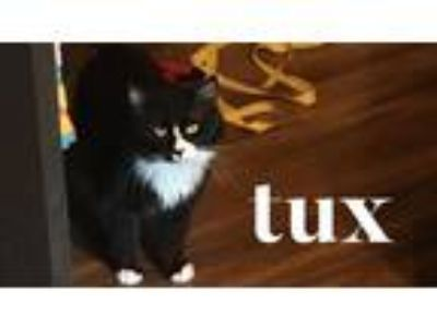 Adopt Tux a Black & White or Tuxedo Domestic Longhair (long coat) cat in