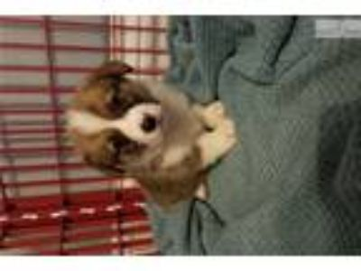 AKC Pembroke Welsh Corgi Puppy (Male)