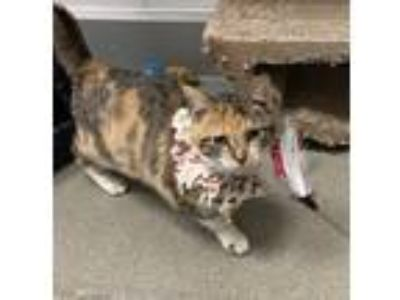 Adopt Petra a Calico or Dilute Calico Domestic Shorthair (short coat) cat in