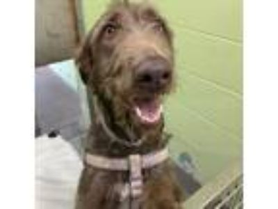 Adopt Rylie a Brown/Chocolate German Wirehaired Pointer / Mixed dog in Largo