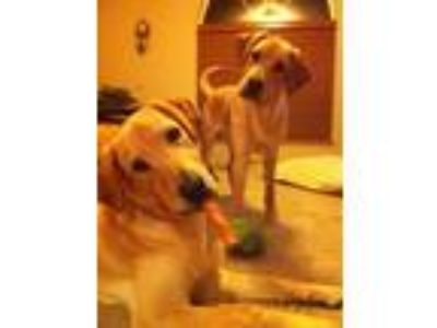 Adopt Axel and Cooper a Tan/Yellow/Fawn - with White Labrador Retriever / Mixed