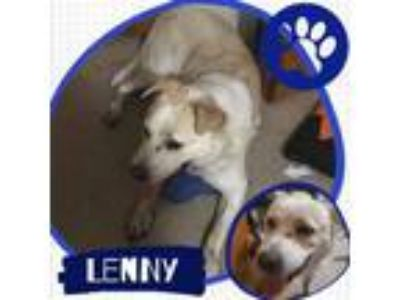 Adopt Lenny a Labrador Retriever, Border Collie