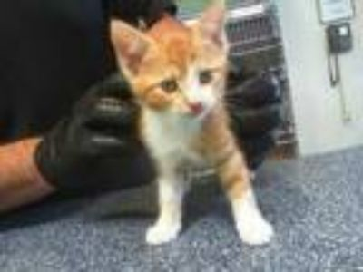 Adopt SHIRLEY a Orange or Red (Mostly) Domestic Shorthair / Mixed (short coat)