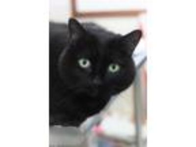 Adopt Lilith a All Black Domestic Shorthair / Mixed (short coat) cat in Johnson