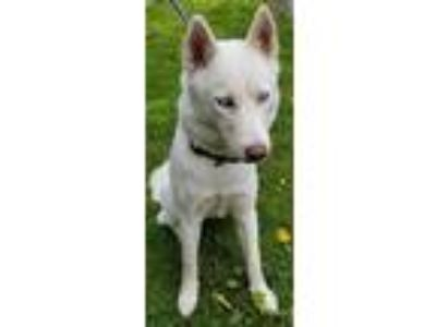 Adopt Luna a Siberian Husky / Mixed dog in Atlantic City, NJ (25578743)