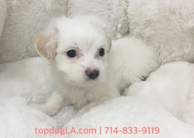 Maltipoo PUPPY FOR SALE ADN-78657 - Maltipoo female Tiffany