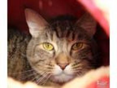 Adopt Rey a Domestic Short Hair, Tabby