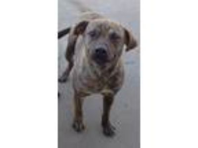 Adopt Tuck a Labrador Retriever