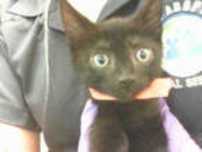Adopt BUNNY a All Black Domestic Shorthair / Mixed (short coat) cat in Doral