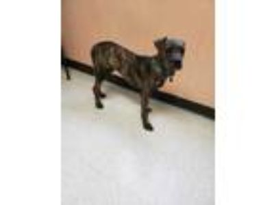 Adopt Remco a Brindle Boxer / Mixed dog in Altoona, PA (25827634)