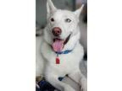 Adopt Duck D190408 a German Shepherd Dog, Husky