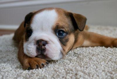 English Bulldog PUPPY FOR SALE ADN-75405 - LoveACharlotteBully