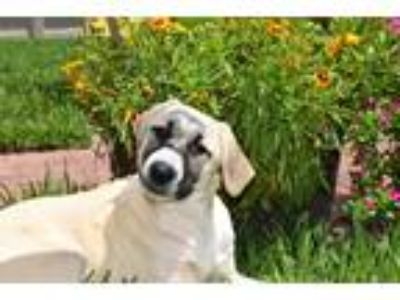 Adopt Molly a Tan/Yellow/Fawn Anatolian Shepherd / Mixed dog in Ormond Beach