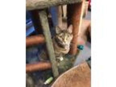 Adopt Mama Cat a Domestic Short Hair