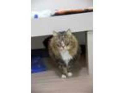 Adopt Carol a Domestic Long Hair