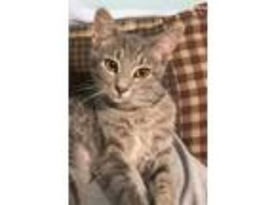 Adopt Gyda - At the Shelter a Maine Coon