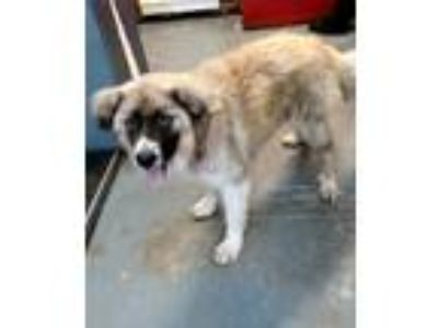 Adopt Kurt a White Great Pyrenees / Australian Shepherd / Mixed dog in Aurora