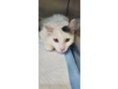 Adopt Theo a Domestic Long Hair