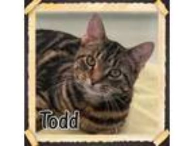 Adopt Todd a Domestic Short Hair