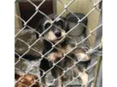 Adopt Eviie a Gray/Silver/Salt & Pepper - with Black Mixed Breed (Medium) dog in
