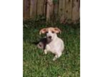Adopt Patches a White - with Brown or Chocolate Jack Russell Terrier / Mixed dog
