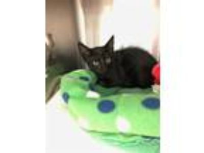 Adopt a All Black Domestic Shorthair / Mixed (short coat) cat in Jacksonville