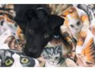 Adopt Rapinoe a Pit Bull Terrier, Mixed Breed