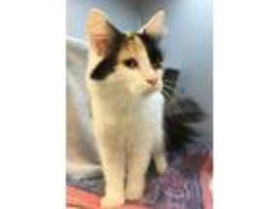 Adopt Molly a Domestic Medium Hair