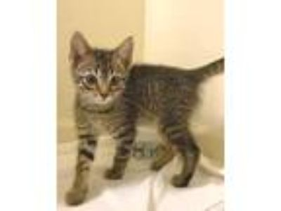 Adopt Genie -- 9 WEEKS a Brown Tabby Domestic Shorthair / Mixed (short coat) cat