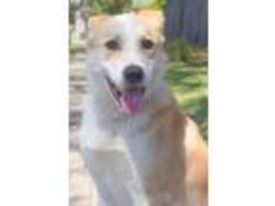 Adopt PHARAOH a Border Collie, Shepherd