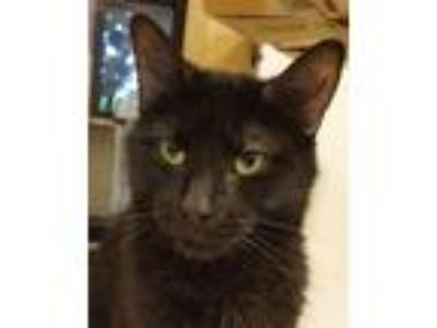 Adopt Wednesday a All Black Domestic Shorthair (short coat) cat in Grayslake