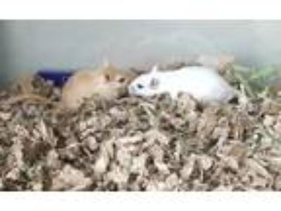 Adopt Gandalf a White Gerbil (short coat) small animal in Monrovia